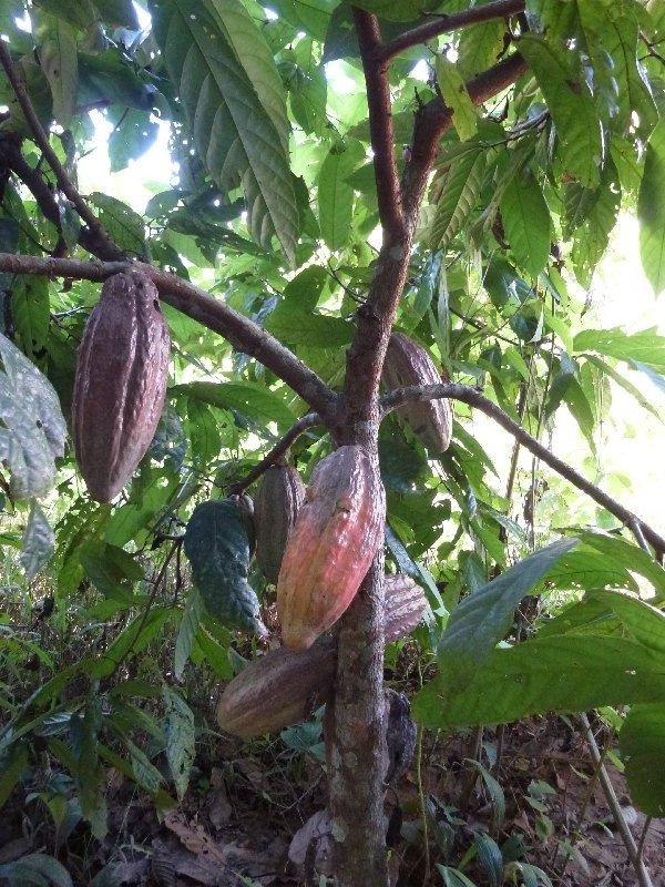 Ein Schokoladenbaum
