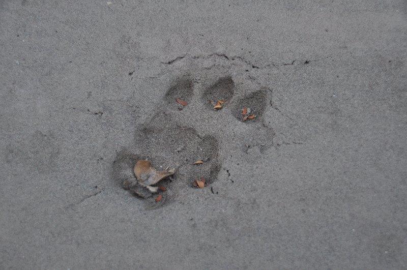 Jaguarspur im Sand