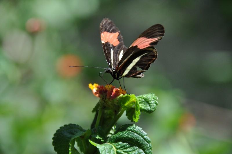 iguazu-brasilien-Schmetterling