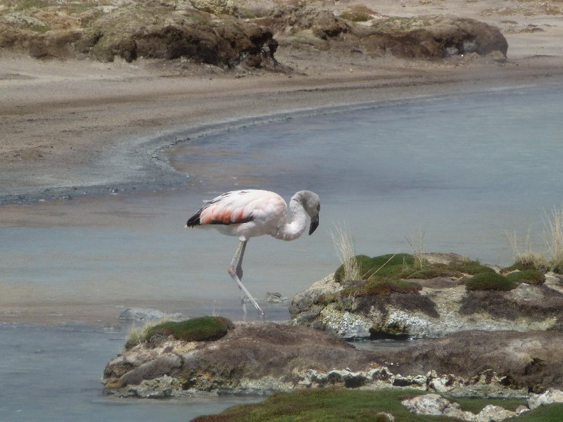 Flamingo in heisser Quelle