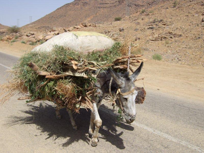 Transportesel in Marokko