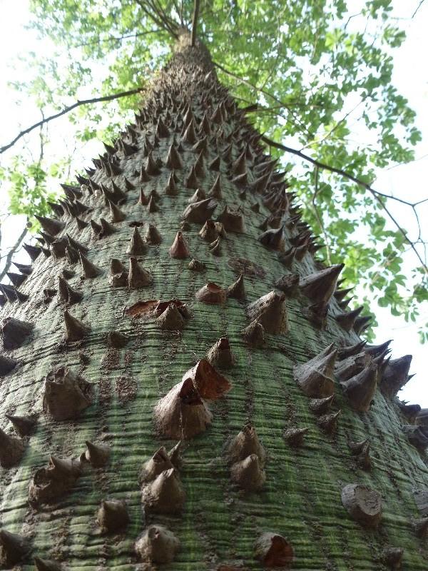 Dornbäume