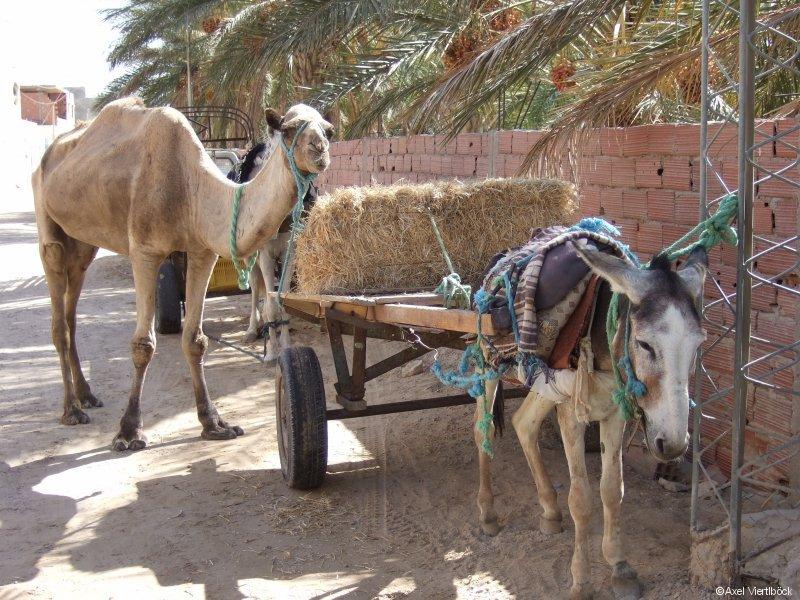 Parkplatz für Esel und Kamel
