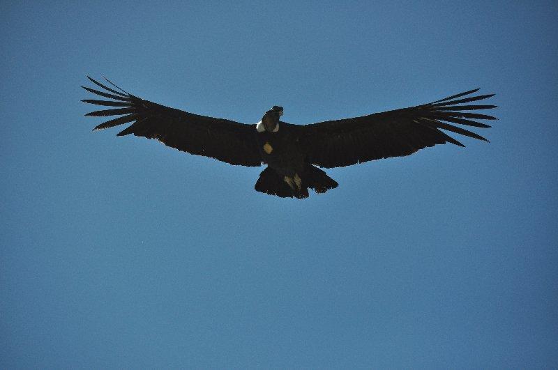 Kondor