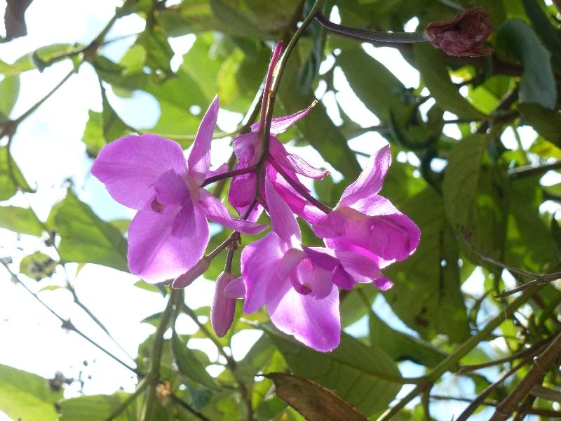 pozuzo-Orchidee